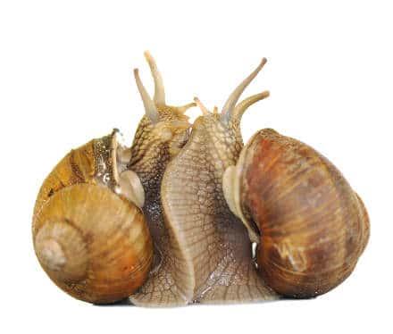 www.elevage-escargots.com/files/2012/03/amour-e...